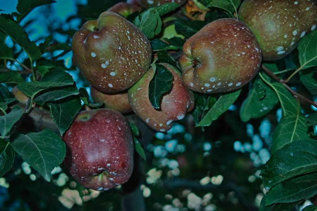 """""""Zum reinbeißen, diese herrlich knackigen Äpfel.... doch solche Ernten reifen nicht von allein.... Chemie. Auf Ihrer Seite."""" So (ähnlich warb einst die Chemieindustrie (West) in den 80er Jahren für Verständnis ihrer Produkte. Wie wahr !) . Äpfel in einer Plantage am Strassenrand bei Zagora."""