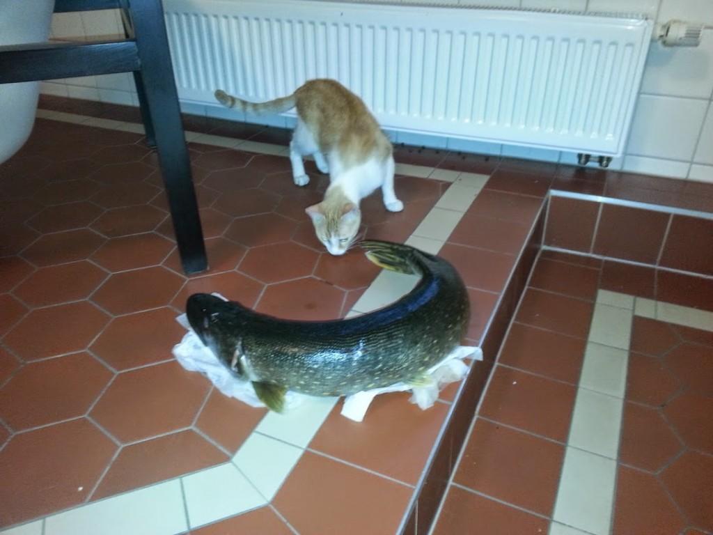 Tiberius untersucht einen Gimritzer Saale-Hecht. Es ist für ihn nicht nicht immer ganz einfach gewesen, sich von dem mediterranen Futterangebot auf das Gimritzer Beutespektrum umzugewöhnen. Doch wir helfen ihm dabei, und nun isst er auch Hecht aus der Saale mit größtem Vergnügen. Wir sind ja so stolz auf ihn !