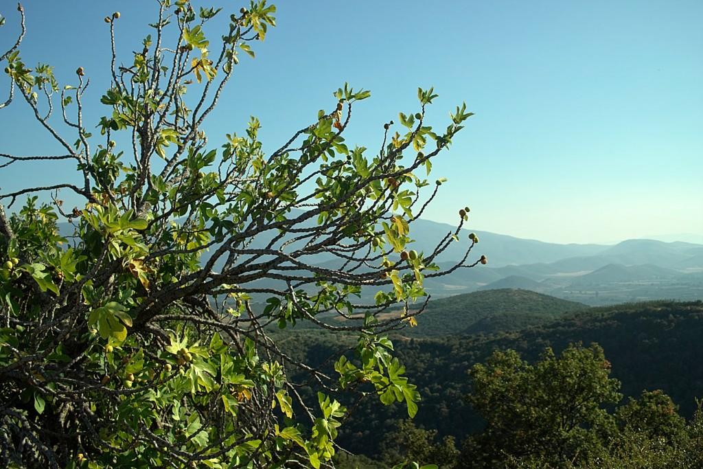 Der Feigenbaum ist in die Jahre gekommen. Sicher über 50 Jahre alt, reckt er seine letzte frucht stolz in das Panoraqma des Tals von Agia. Die blauen Berge gegenüber gehören zum Gebirgsmassiv von Mavrovouni.