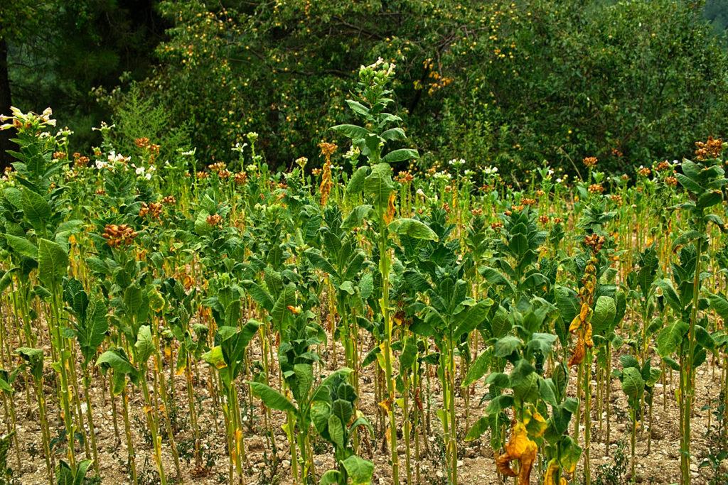 sdim2168-tabakfeld-basmas-bei-sminthi