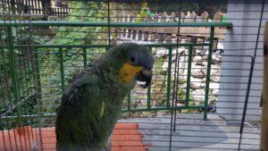 20170824_102138 farangi antoniou patsas papagei