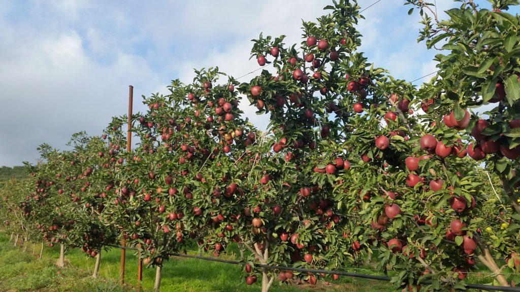 Apfelplantage bei Aghia