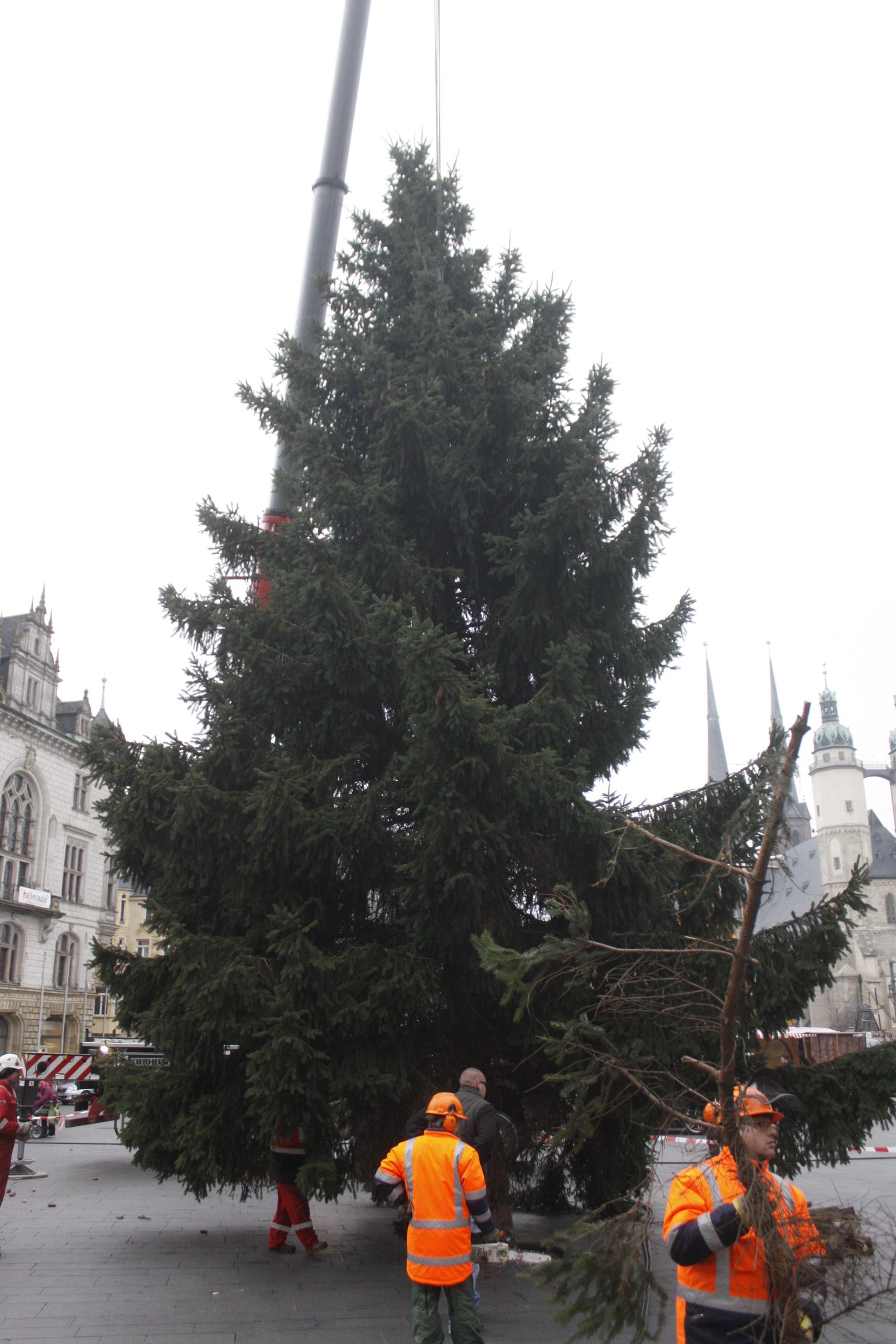 weihnachtsbaum steht giebichensteiner fichte f r den. Black Bedroom Furniture Sets. Home Design Ideas