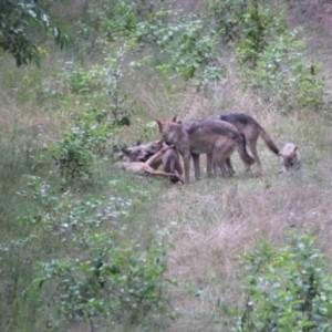 Wolf Nachwuchs