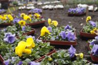 2.000 Stiefmütterchen und Hornveilchen sollen gepflanzt werden.