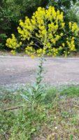 Isatis tinctoria war Blume der Woche 14-06-2016. Färberwaid. Einst begründete sie den Reichtum einer Region, heute führt sie ein MAuerblümchendasein. Schuld: natürlich die chemische Industrie. Wer sonst.
