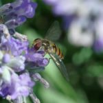 Schwebfliege an Lavendelblüte