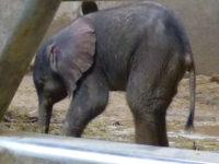 Elefantenbaby3