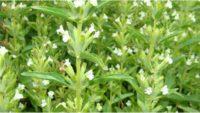 Detail der blühenden Ölpflanze, die diese Woche gesucht wird