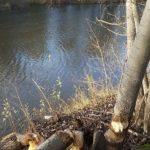 Biber fällt Bäume an der Elisabeth-Saale