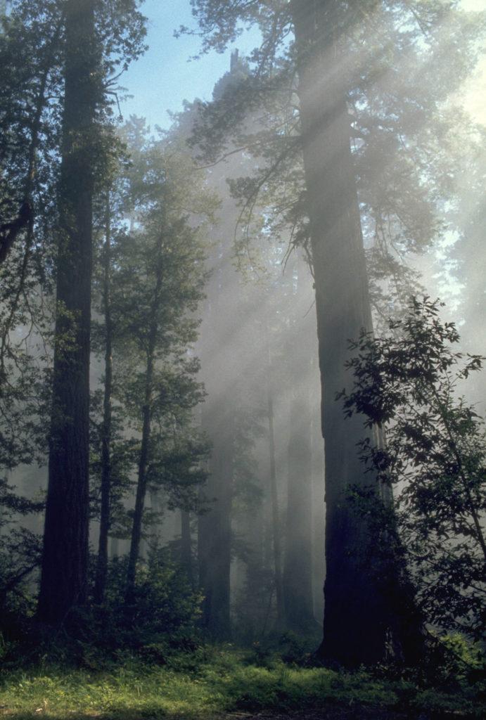 mammutbaeume-im-redwood-nationalpark-wikimedia