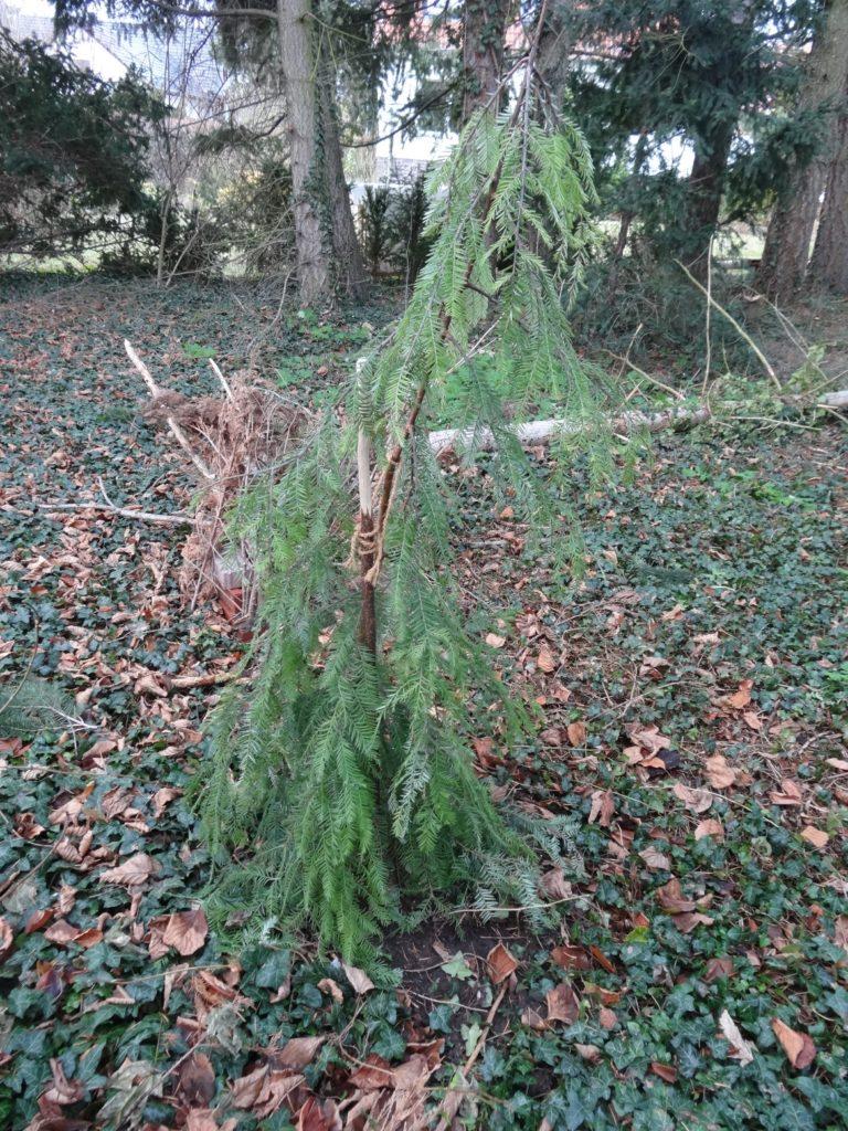 mammutbaum-sequoia-sempervirens