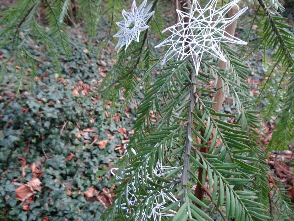 mammutbaum-sequoia-sempervirens-nadeln