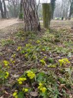 Winterlinge im Park und Brachmann-Stein