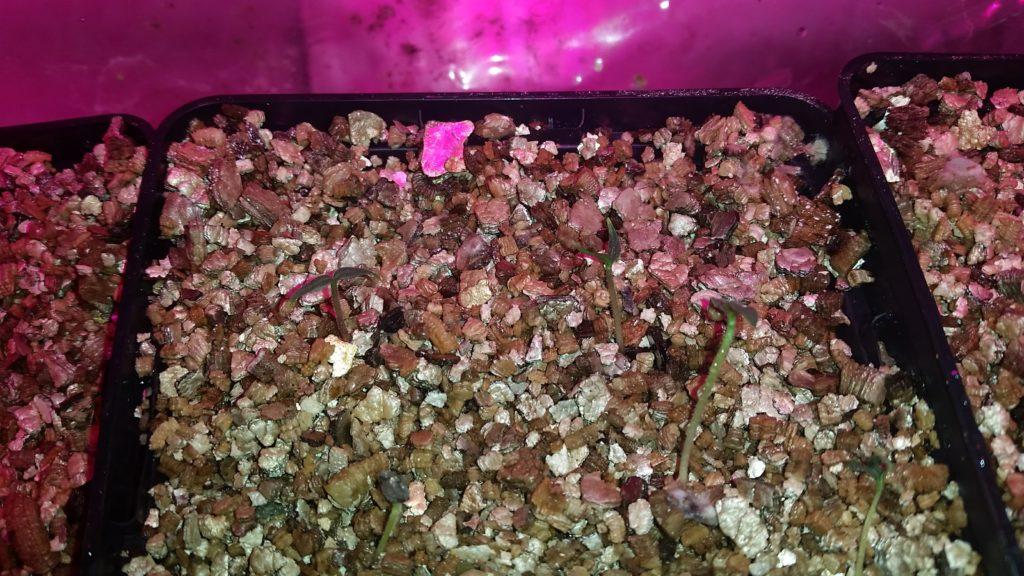 keimlinge capsicum pubescens